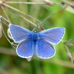 Common blue butterfly. Credit Matthew Oates-National Trust Images 700