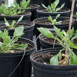 Guayule plants in an ARS research greenhouse. 700
