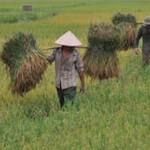 Harvesting rice in Vietnam. fao 700