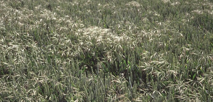 Bayer responds to news of ALS resistance in brome populations