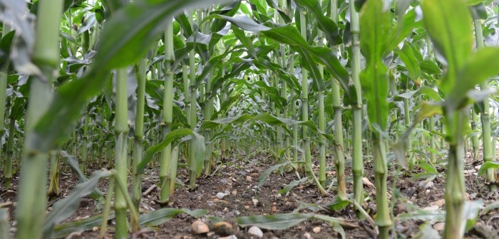 Weed free maize growth syngenta 040417 700