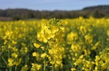 bayer pollen evington 040417 700