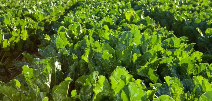 New guidelines for sugar beet field workers