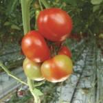 Pepino 2 - Fruit marbling symptoms due to presence of PepMV 700