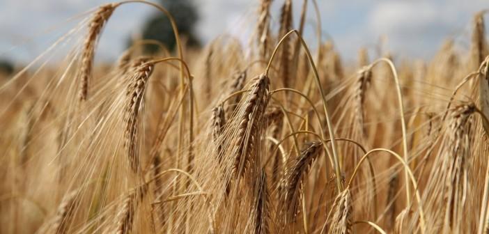 Hyvido barley