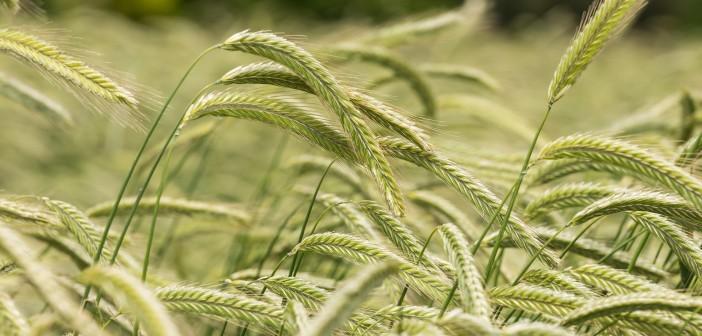 KWS hybrid rye in ear close up