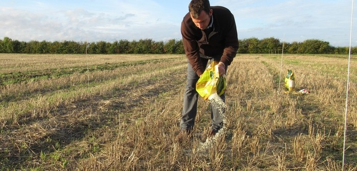 James Southgate spreading rice to simulate black-grass seed on stubble