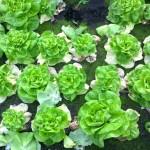 fusarium_in_lettuce
