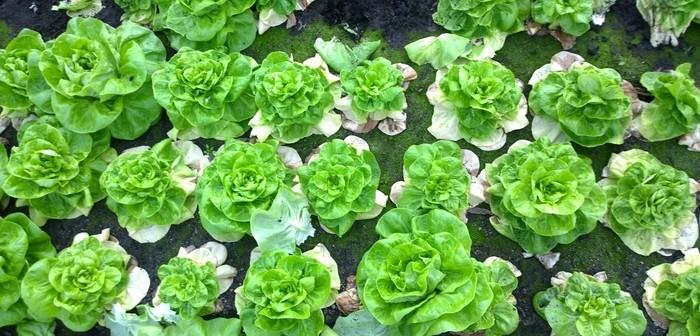 fusarium in lettuce AHDB