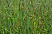 Black-grass. Credit; Rothamsted Research