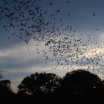 Mexican Free Tailed bats Credit: Jonathan Alonzo Bat Conservation international