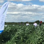 Growers visiting weed control trials for sweetcorn in 2017 for SCEPTREplus first year trials