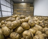 Potato stock levels and 'drawdown' at record levels