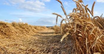 Lodged winter wheat