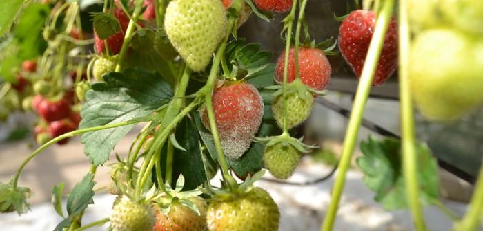 Powdery mildew in strawberry