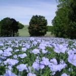 Premium crops Linseed