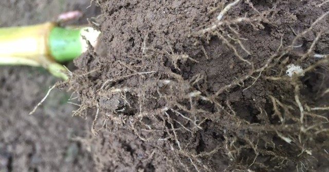 Healthy maize roots