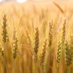 Wheat small_dRSCHyQ
