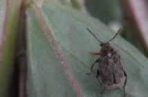 Bruchid Beetle