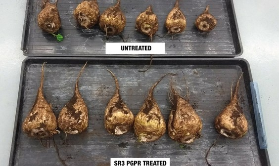 Sugar beet SR3 PGPR treated vs untreated @300