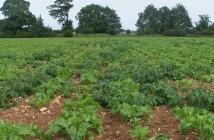 Volunteer potatoes in sugar beet