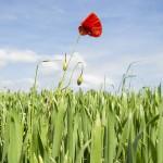 solitary poppy Dow