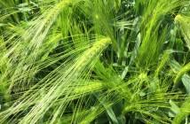 Hyvido Belmont hybrid winter barley (from Syngenta)@300