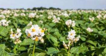 Closeup of blooming potato plants
