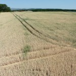 Drought-stressed winter wheat