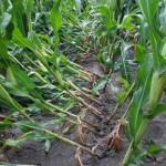 Lodged maize