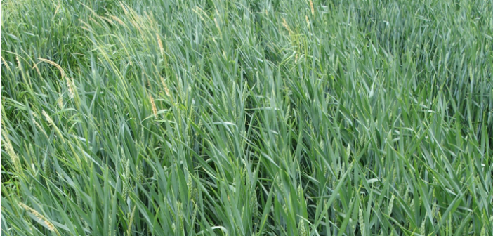 Increased supply of Crystal herbicide will help growers make best start to black-grass control programmes