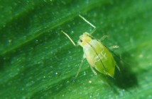 green plant louse