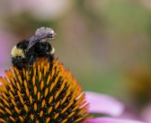 Backpacks on bees could replace drones
