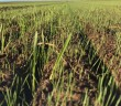 Uncontrolled blackgrass (from MT)