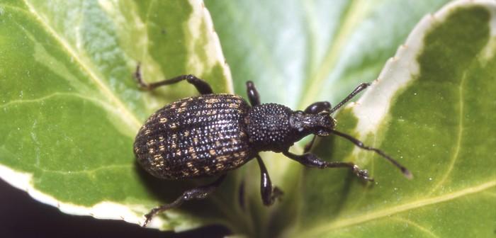 Adult vine weevil