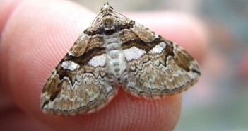 Barberry Carpet Moth - credit Ian Hughes, Butterfly Conservation