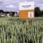 KWS Extase (landscape)