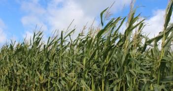 KWS maize