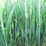Mildew in wheat_1