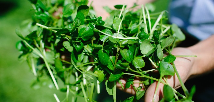 Watercress (1)