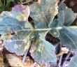 Bayer Light Leaf Spot