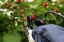 Raspberry harvester - credit University of Plymouth
