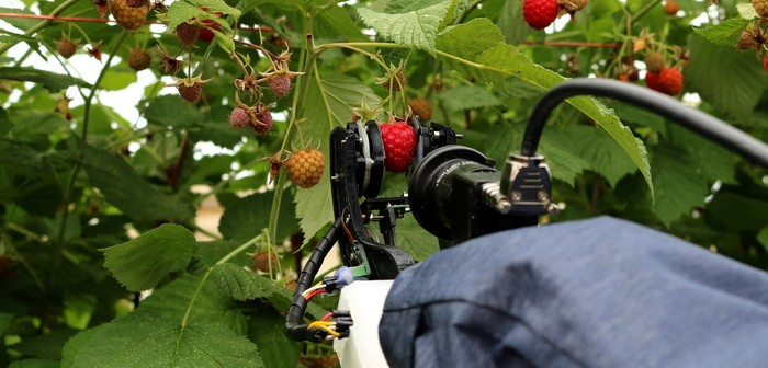 Raspberry harvester - credit University of Plymouth