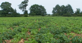 Volunteer potatoes in sugar beet