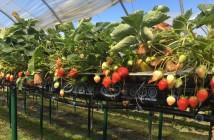 strawberry plants 3