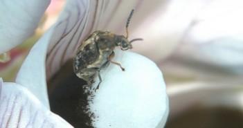 Bruchid beetle (2)