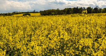 Second generation Clearfield oilseed rape varieties add a new dimension to oilseed rape management