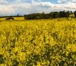 Oilseed Rape in flower
