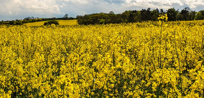 Release the full potential of oilseed rape in the rotation, says United Oilseeds