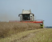 A crop of Aspire OSR has managed to pull back from the brink to reap a very healthy gross output